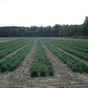In the Sverdlovsk region at least 700 seeds of coniferous trees for sowing in the spring of 2019 will be harvested