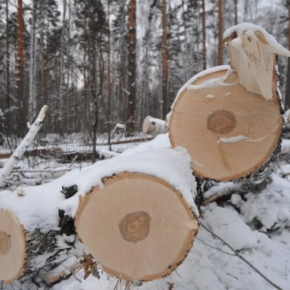 "In the Yaroslavl region ""black loggers"" caused damage to the forest Fund more than a million rubles"