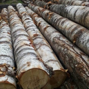 Exports of birch veneer logs to China continued to grow in 2018