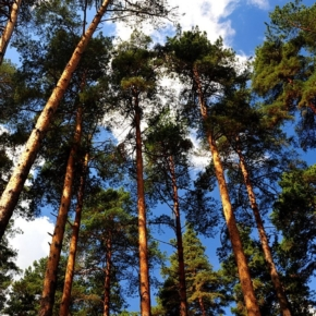 7 billion rubles received less budget of the Krasnoyarsk region from the implementation of projects in the field of forest development