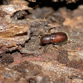 Mild winter causes earlier bark beetle infestation in Austria