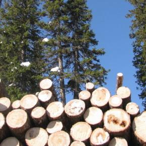 В ожидании ввода экспортных пошлин на лес