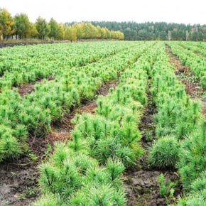 В 2019 г. в Нижегородской области высадят до 20 миллионов деревьев