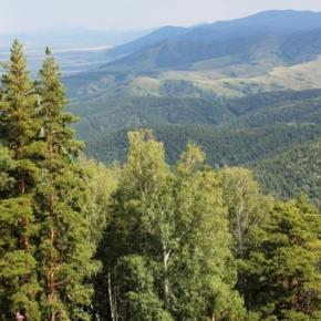 В Алтайском крае реализуют инициативу Ивана Валентика по введению моратория на заготовку древесины в ленточных борах