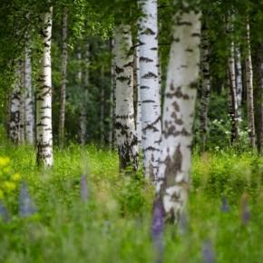 Segezha Group планирует арендовать около 800 тыс. га лесных участков для обеспечения сырьём Галичского ФК