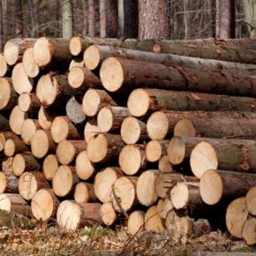 Пиловочник сохраняет пиковую востребованность на российском рынке лесосырья